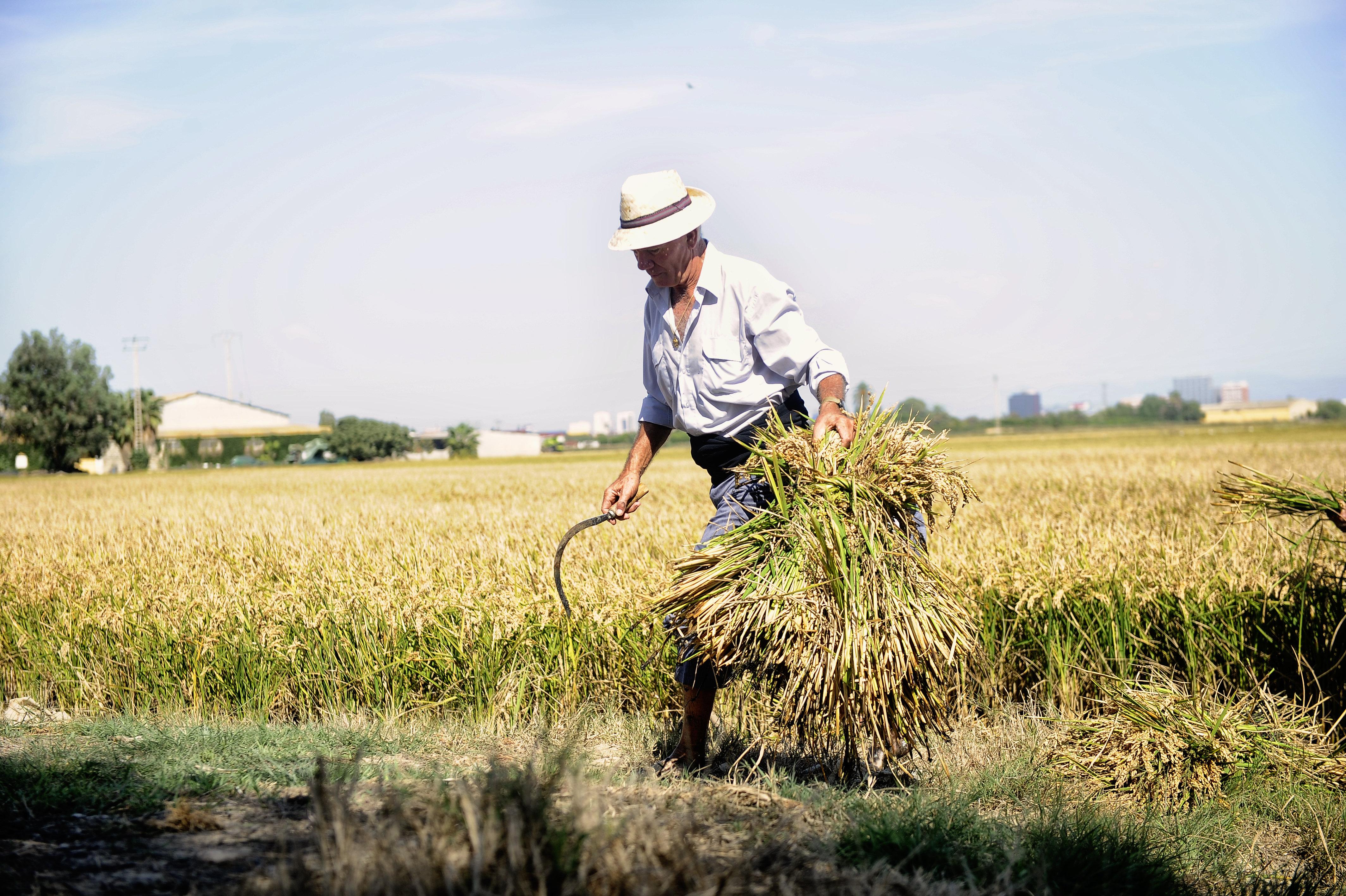 La D.O. arroz de Valencia organiza este domingo la VII edición de la fiesta de la siega